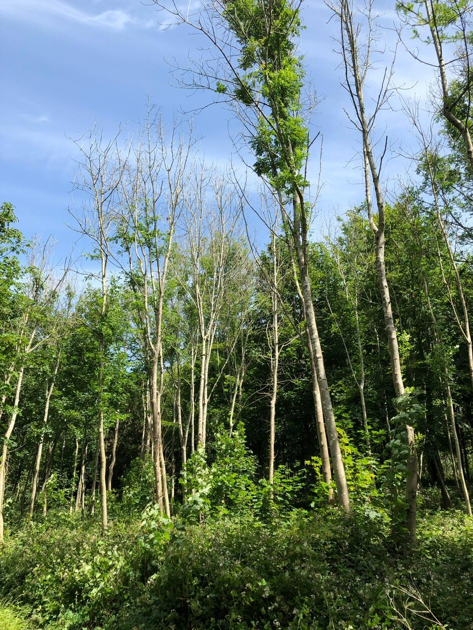 Ash Dieback in West Sussex woodland - MJO Forestry, West Dean
